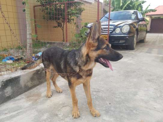 German Shepherd Male and Female LARGE-SIZED-BREED Each